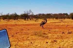 Emu on cattle station