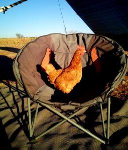 chicken in chair