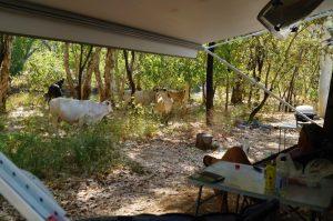 Bungle Bungles Spring Creek Free Camp cows