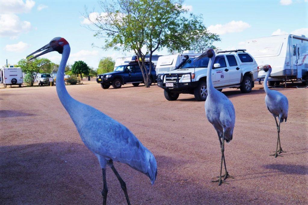 Longreach tourist park big birds