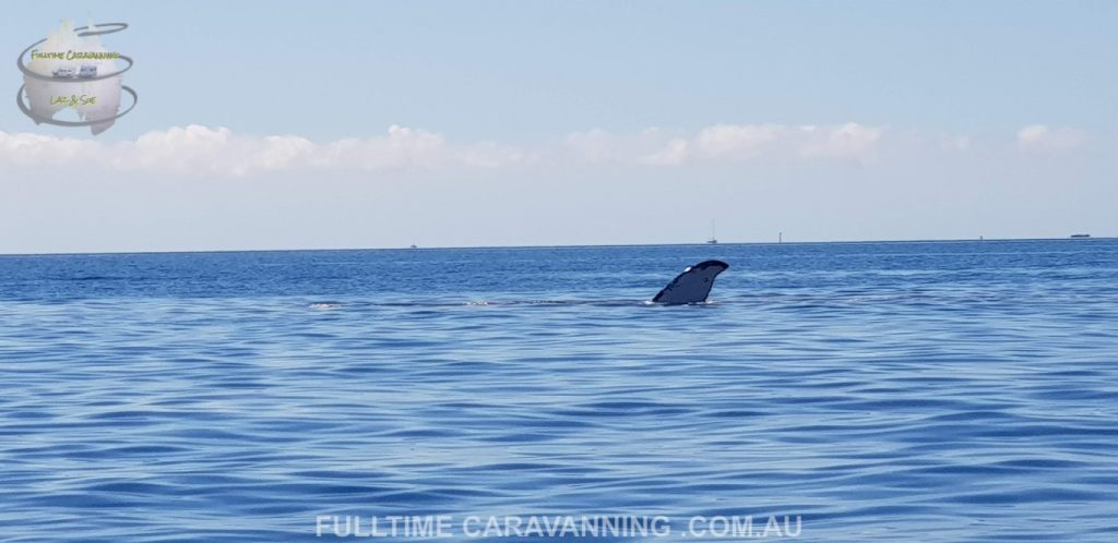 Steens beach Whitsundays Great Barrier Reef Queensland Australia whale