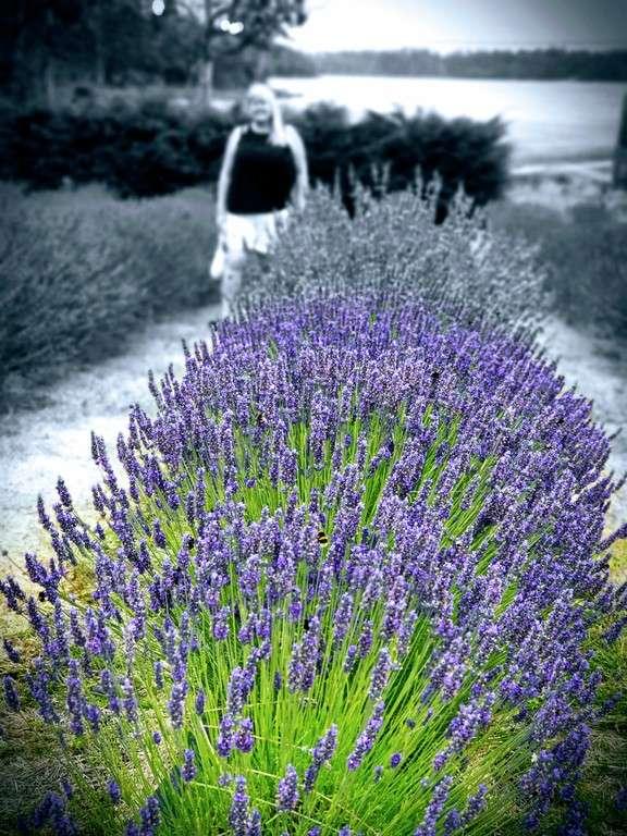 Port Arthur Lavender Farm Tasmania