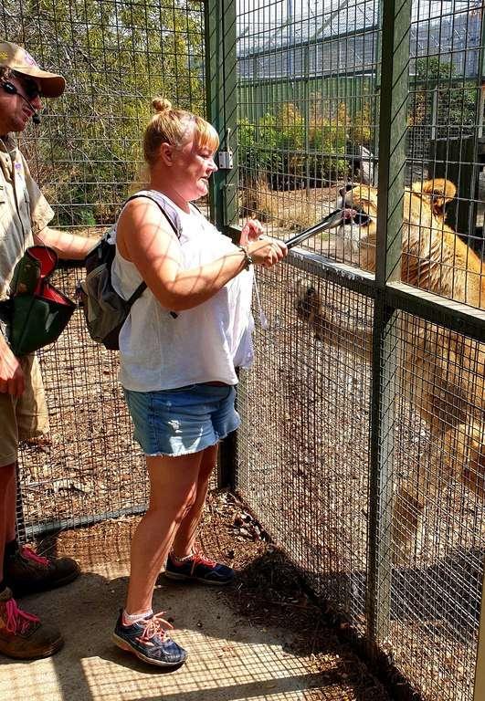 Zoodoo  Zoo Lion feeding Tasmania