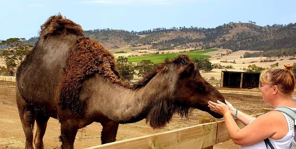 Zoodoo  Zoo Camels Tasmania